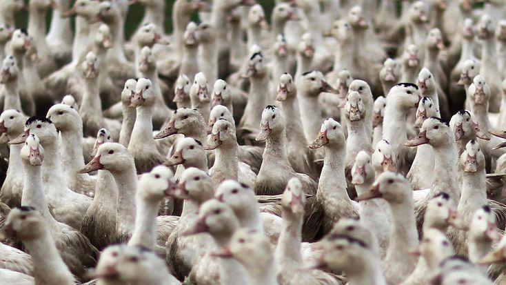 Le sombre dossier de la grippe aviaire - http://www.ompe.org/grippe-aviaire/ - OMPE   Organisation Mondiale pour la Protection de l'Environnement - http://www.ompe.org/