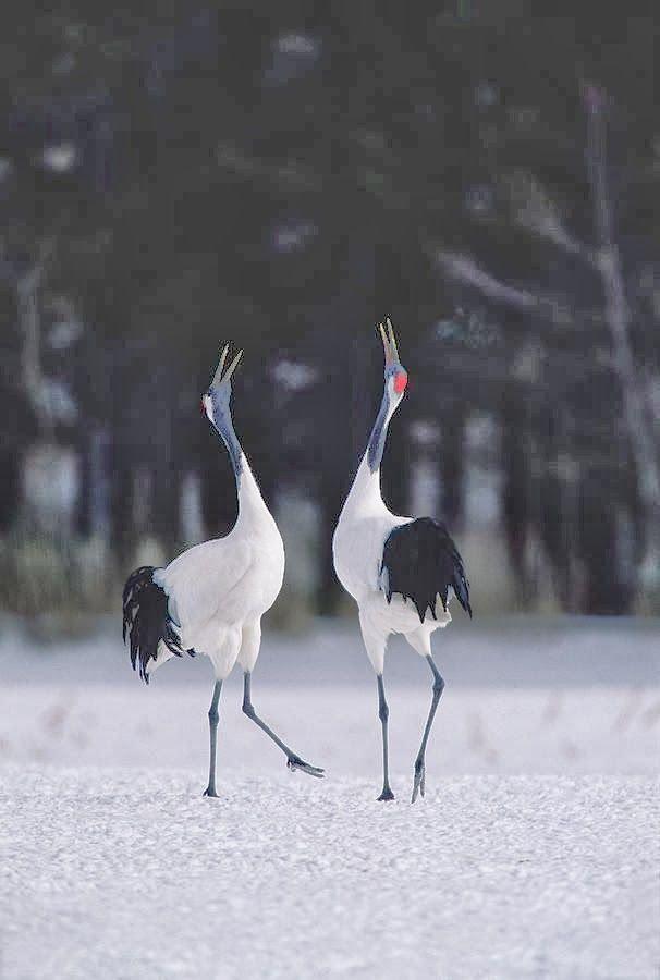 8 best Cranes images on Pinterest | Japanese crane, Birds ... - photo#41