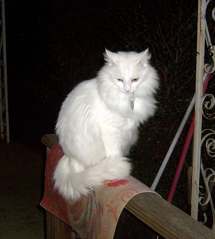 Can Cats See In The Dark Catseatinggrass Herdingcats Angora