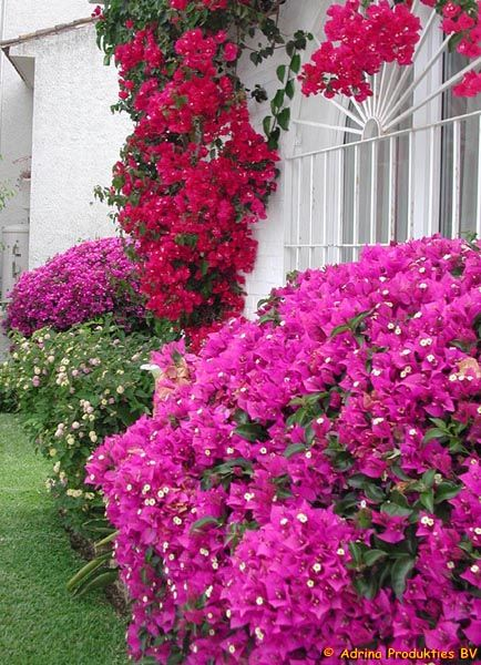 Bouganvilla.....my two should take off on the courtyard fence this year...love them.