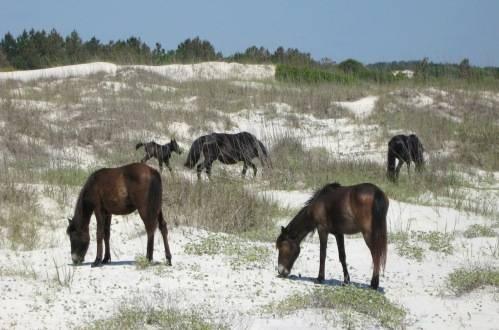 wild horses- NC