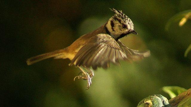 haubenmeisen im flug  vögel im flug haubenmeise meise
