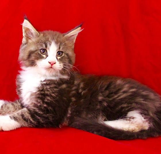 Yusef is a purebred full European Maine Coon Kitten For Sale