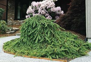 Weeping norway spruce picea abies 39 pendula 39 great for Dwarf ornamental trees for zone 4