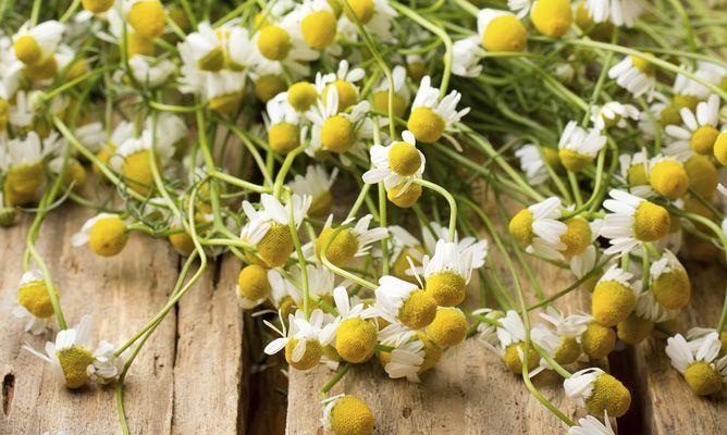 Cómo cultivar manzanilla