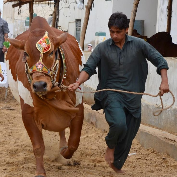 Cow Mandi Bakra in Pakistan where you can find the largest number of cattle farming pictures ..at the event of eid ul azha we will boost up our page and puti...