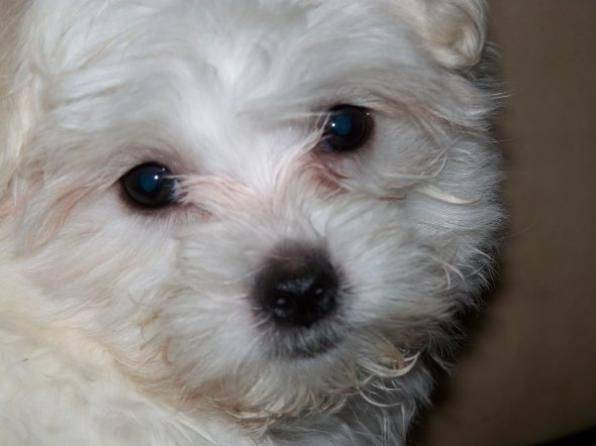 Toy Dog Breeds That Stay Small : Best images about maltese on pinterest shih tzu