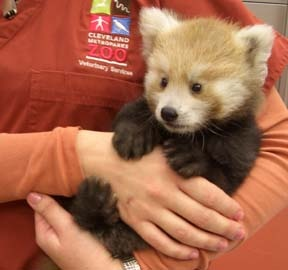 The Red Panda has always been one of my loves at the Cleveland Metroparks Zoo.