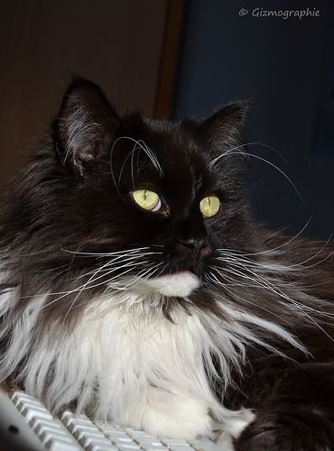 Gizmo, Maine Coon - Perser Mix http://www.mainecoonguide.com/where-to-find-maine-coon-kittens-for-sale/