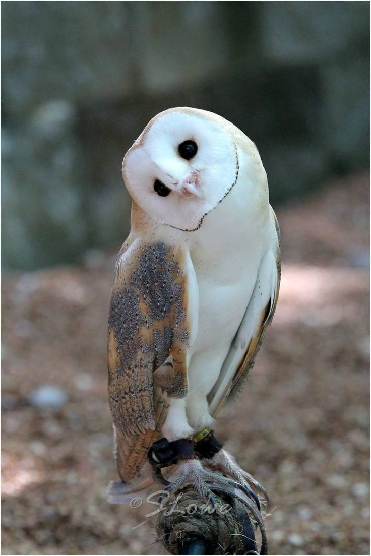 Avery - European Barn Owl by Sandra L