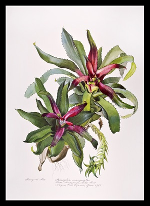 Margaret Mee Botanical Prints