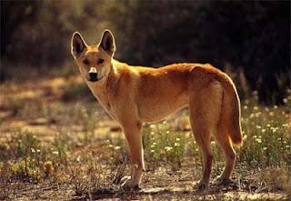 A Dingo Ate My Baby...LOL!