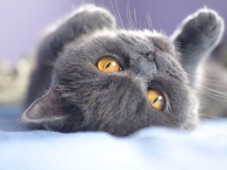 Verschmuste Britisch-Kurzhaar-Katze ist ein besonderer Streichel-Fan – Bild: Shutterstock / itsmejust    www.einfachtierisch.de