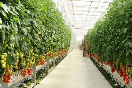 Szklarnia z pomidorami