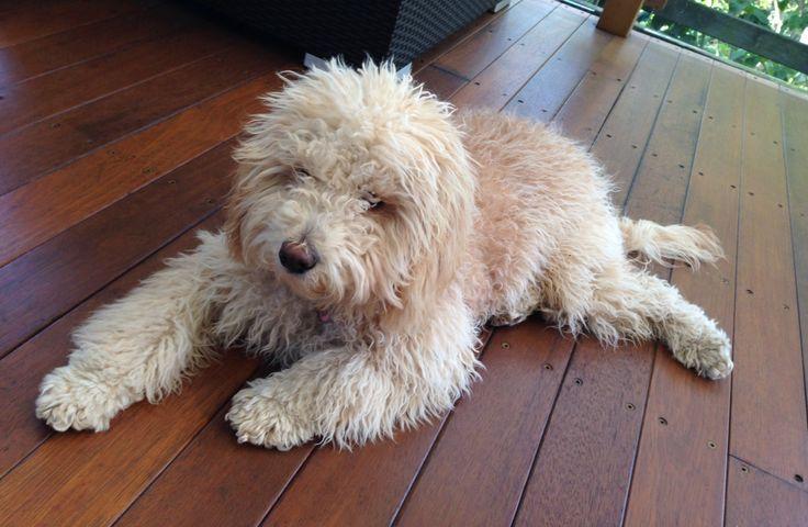 Cavoodle, Lulu, enjoying a rest. Waratah Park Puppies NSW
