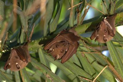 Fatos sobre morcegos frutívoros para crianças | eHow Brasil