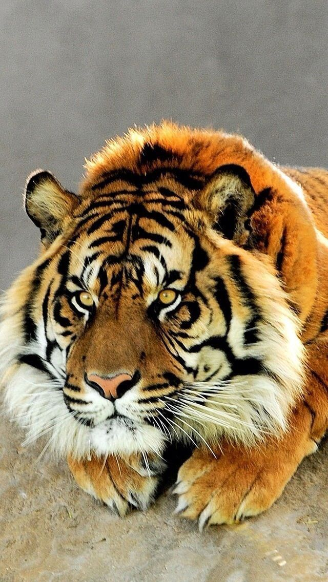 This stunning male tiger though | follow @sophieeleana