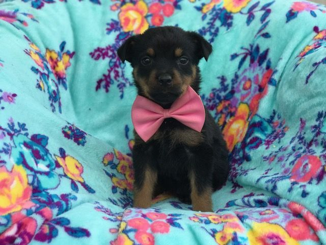 Rottweiler Puppy For Sale In East Earl Pa Adn 44376 On