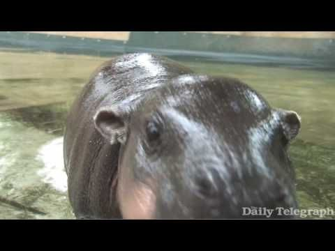 Pygmy. Baby. Hippo. Takes. Its. First. Swim. Cutest video ever!