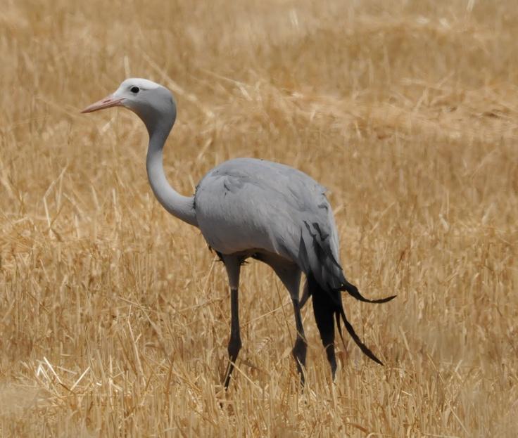 Blue Crane, South Afica's National Bird.