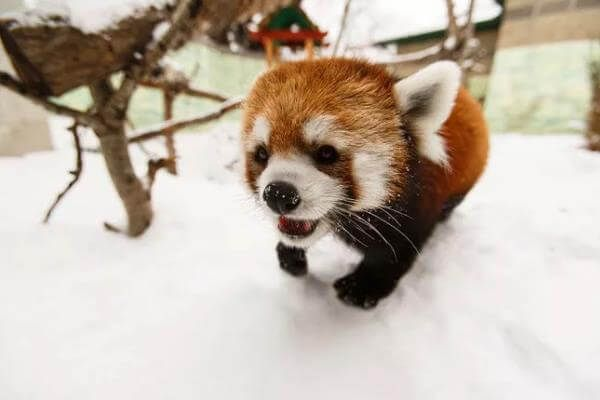 Types of Pandas Informations   Fun Facts About Giant & Red Pandas