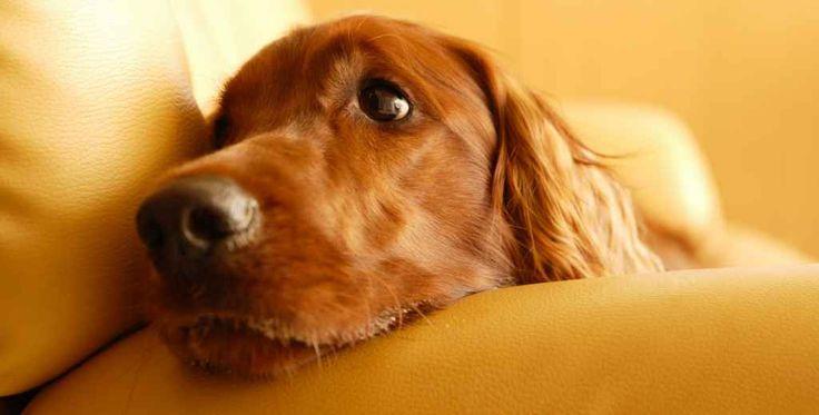 Blaft, jankt of huilt uw hond als u het huis verlaat? Komt u thuis en heeft uw hond weer het nodige kapot gemaakt? Ook al bent u maar kort weg geweest? Ligt uw hond voortdurend bij u en volgt de hond u overal naar toe? Dan kan het maar zo zijn dat uw hond verlatingsangst heeft.