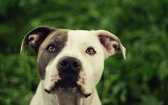 Куплю американского стаффордширского терьера фото собаки, Куплю американского стаффордширского терьера фото породы собак обои, фото фотографии на рабочий стол красивые животные лучшие картинки dog breed изображение скачать бесплатно фото собачек собак