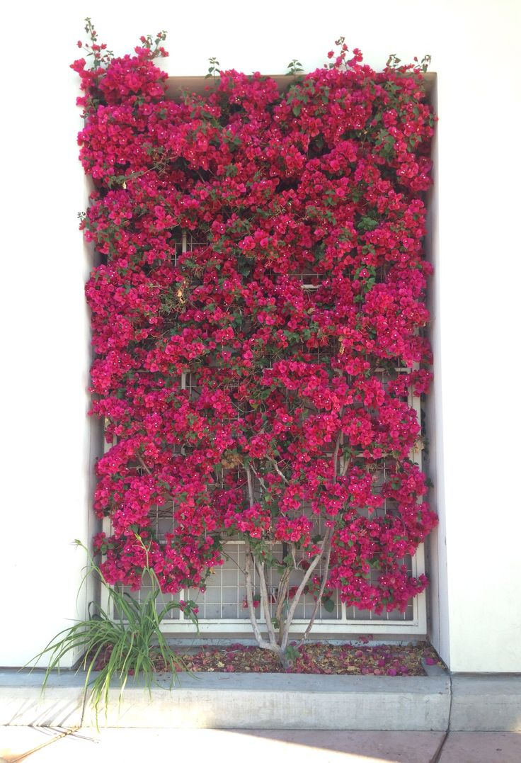 Bougainville trellis. The color is incredible in person.