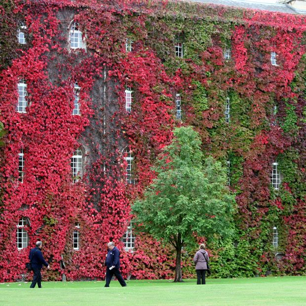 WOW! Cambridge University building looks spectacular as its cover of Virginia Creeper begins to turn into a blaze of red.