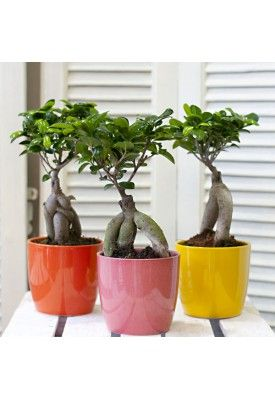 Bonsai ficus Ginseng in fantastic colors! Water 3-4 times per week. Light pruning once per month and stronger every February and September.