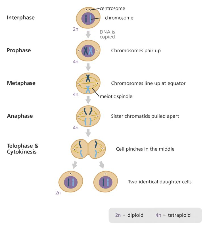 definition of mitosis and cytokinesis relationship