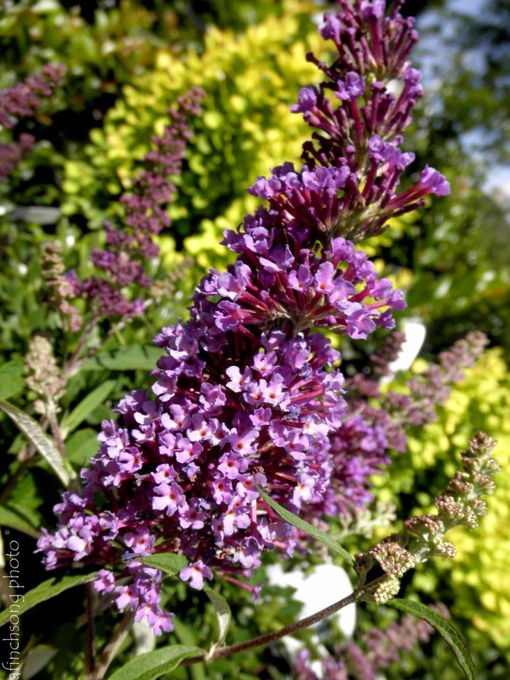 Buddleia 39 purple emperor 39 purple emperor butterfly bush for Small flowering shrubs for full sun