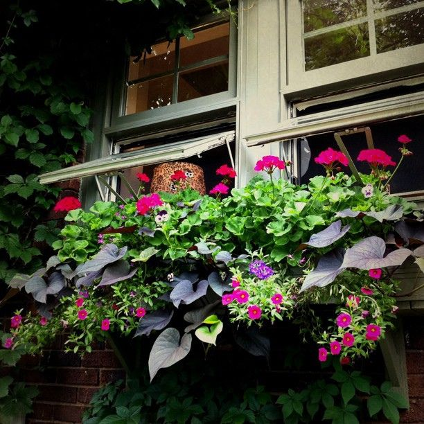 gorgeous window box of geraniums, calibrachoa, johnny jump - ups, verbena &  sweet potato vine