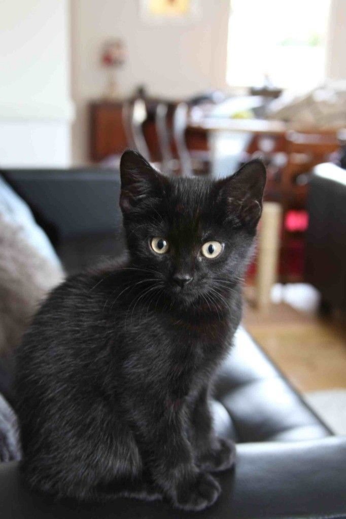 Black kitten at 8 weeks. So cute. Thejavawitch... his eyes!! Love when they get that Hunter kitty look!!