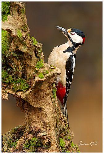 Great-spotted Woodpecker / Dendrocopos major / Pic épeiche : Le Pic épeiche est une espèce de pics très répandue en Europe et dans le Nord de l'Asie. Wikipédia