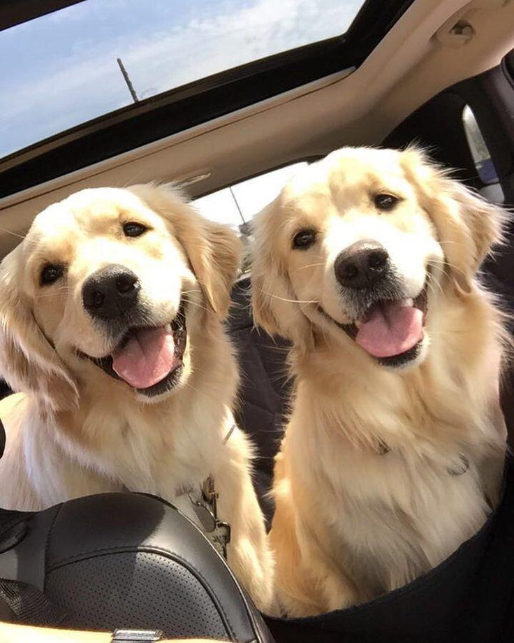 Happy Golden Retrievers with that joyful smile