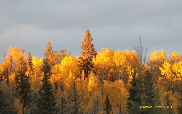 Sun setting on aspens on an October afternoon.