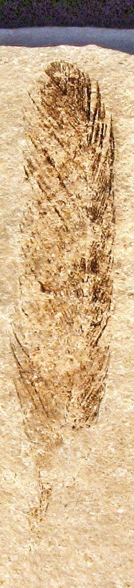 Archaeopteryx lithographica, fossil single feather found 1860, (This image shows the original fossil - not a cast.) Archaeopteryx lived in the Late Jurassic around 150 million years ago, in what is now southern Germany during a time when Europe was an archipelago of islands in a shallow warm tropical sea, much closer to the equator than it is now. Similar in size to a Eurasian magpie, with the largest individuals possibly attaining the size of a raven