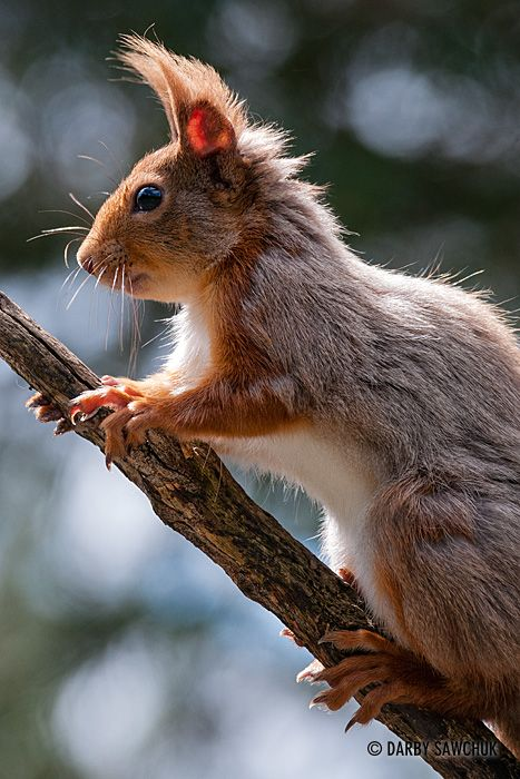 A red squirrel in the Cairngorms National Park of Scotland.