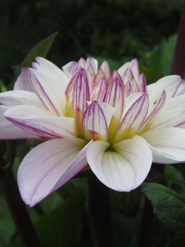 Dag 105 d. 30. juli. Så kom den første blomst i dine dahlia. Den hedder Sweet Surprise og er dejlig, ikke?