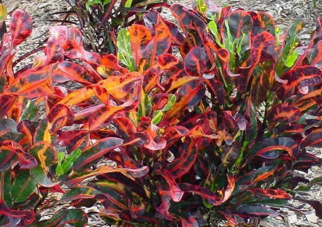 Dwarf And Miniature Plants | Helen Johnson Bouganvilla