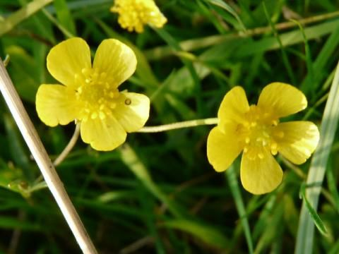 Lesser Spearwort: point well made | The Nature of Dorset