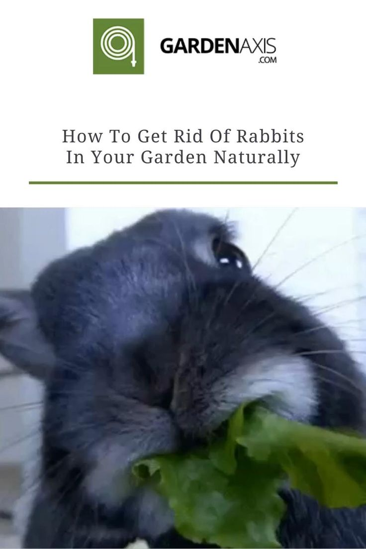 How To Get Rid Of Rabbits In Your Garden Naturally [Video ...
