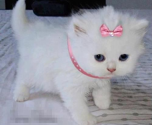white fluffy kitten, i want a fluffy kitten! Cats, Animals, Princess ... Fluffy Teacup Kittens