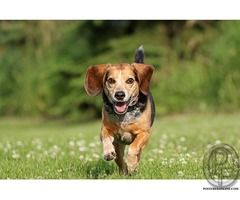 Beagle dog puppies for sale in Mumbai, Maharashtra, India in Pet Animals And Accessories category under budget Check with seller