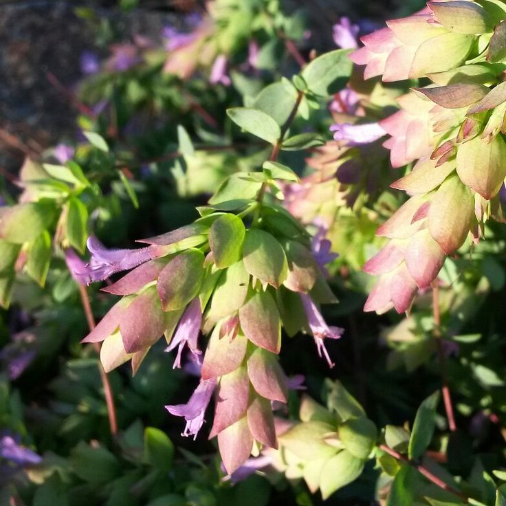 """""""Green Cascade"""" Oregano is one of the latest flowering of the ornamental oregano, still blossoming in March."""