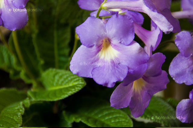 Ennek a mutatós virágú, kistermetű szobanövénynek a levele megtévesztésig hasonló a kankalinéhoz, ennek ellenére mégsem rokonok, mivel ez a dísznövény a csuporkafélék családjába tartozik, ahová például az afrikaiibolyát és a mesevirágot is sorolják.