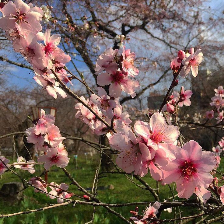 Цветущий миндаль #весна #цветы #Япония #миндаль #сакура #сегодня #Киото