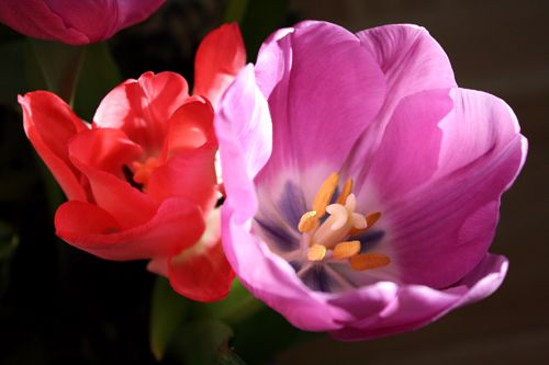 Tulpaner Tulips http://holmsundsblommor.blogspot.se/2009/02/tulpaner-tulpaner-tulpaner.html