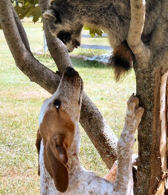 152 best Coonhound love images on Pinterest   Bloodhound ...